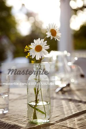 Ox-eye daisies in bottle