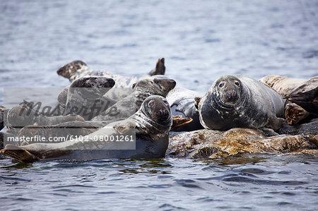 Colony of seals at sea