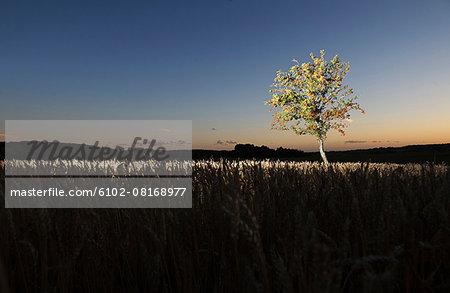 Tree in wheat field at dusk