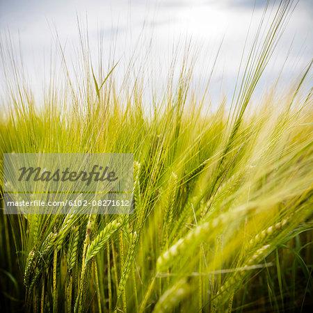 Wheat, close-up