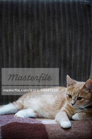 Ginger cat lying down
