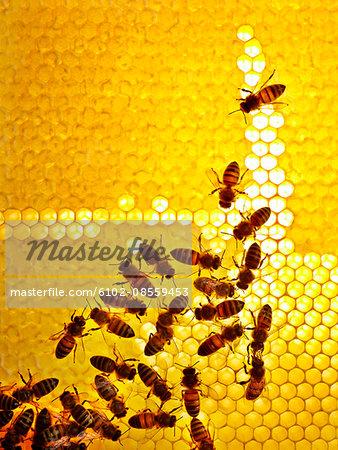 Honey bees, Sweden.