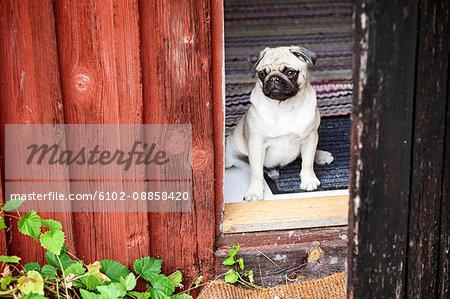 Pug looking through window