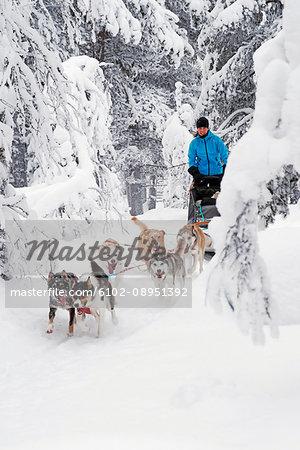 siberian huskies pulling sleigh stock photo masterfile premium