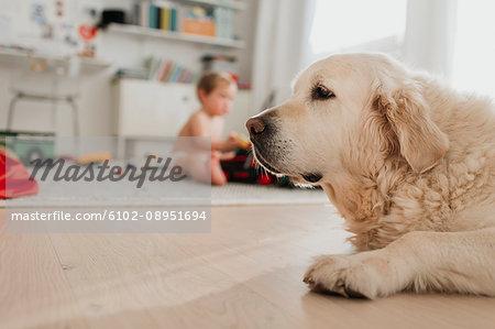 Golder retriever, boy on background