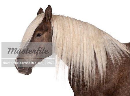 Comtois horse - draft horse - Equus caballus