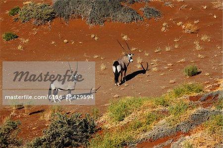 Desert Gemsbok