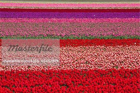Tulip fields in the Netherlands near Lisse