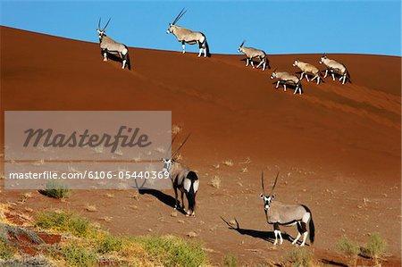 Gemsbok (Oryx) on a sand dune