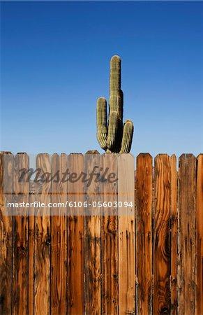 saguaro cactus standing behind wooden fence