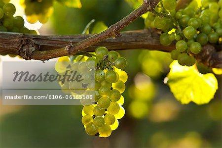 Vineyard in the Hamptons