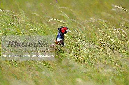 Male Cock Pheasant