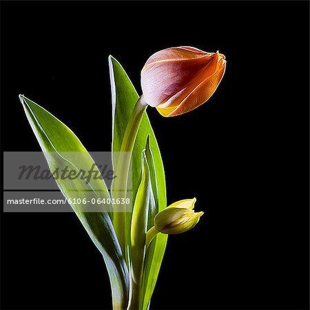 Tulip Adrem