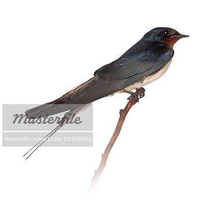 Barn Swallow perched on a branch - Hirundo rustica