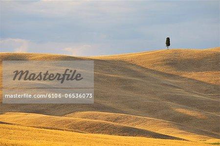 Cypress in the Grain Field
