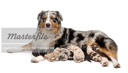 Australian Shepherd puppies suckling