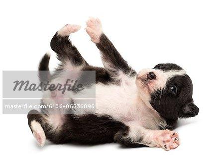 Australian Shepherd puppy rolling over