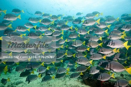 Yellowtail Surgeonfish, Galapagos