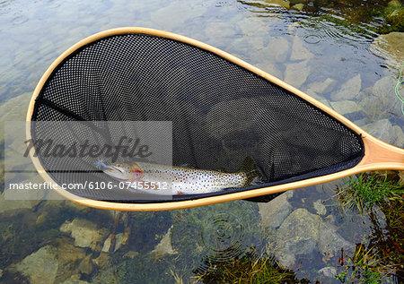 Trout in net at alpine lake, Aspen, Colorado, USA