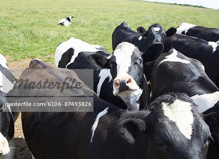 Holstein cows in field.