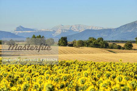 Sunflowerfields on the Valensole plateau
