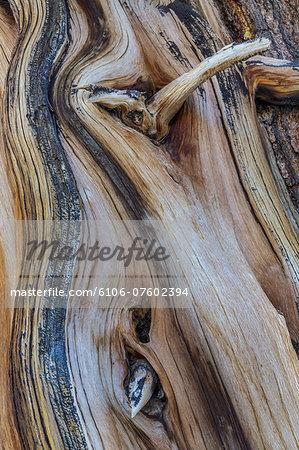Ancient Bristlecone Pine Tree Forest, California