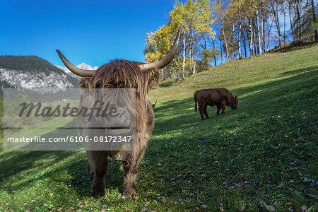 Highland cows (Bos Taurus) Grazing On Field
