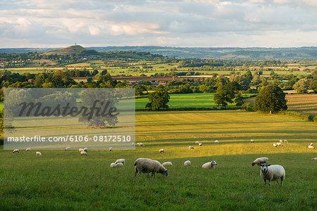 Sheep, Glastonbury Tor