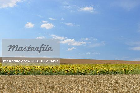 Grain and Sunflower Field in Summer