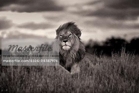 Lion in Masa Mara, Kenya