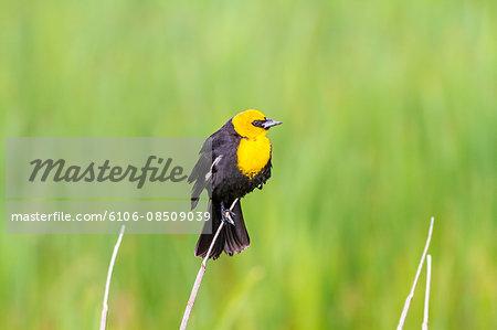 USA, Idaho, Yellow-headed Blackbird