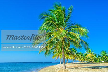 Coconut palm tree on the beach, Pasikudah bay
