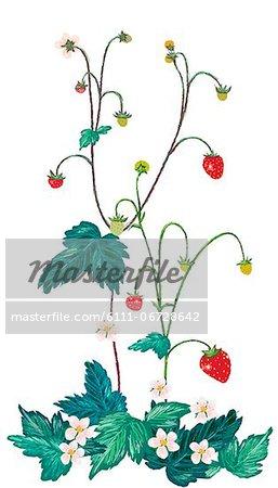 Wild Berries Plant On White  Background
