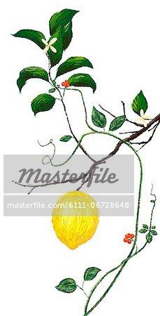 Lemon Flower And Lemon On Tree On White Background