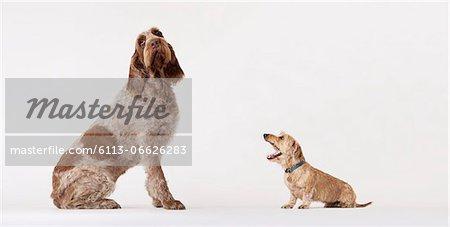 Small dog barking at bigger dog