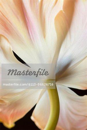 Close up of tulip stem