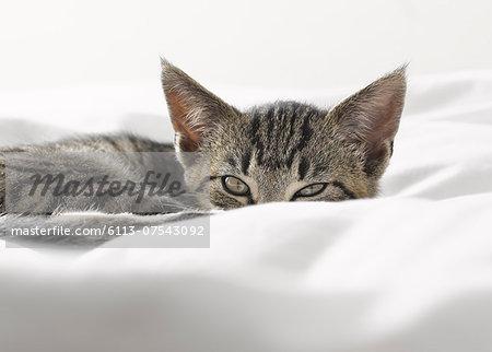Kitten peering over blankets