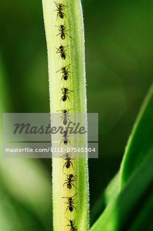 Ants crawling up leaf