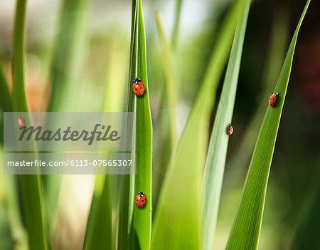 Ladybugs on leaves