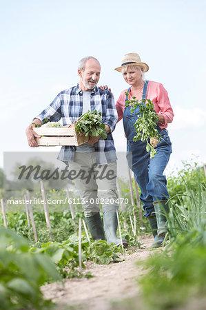 Senior couple harvesting vegetables in garden