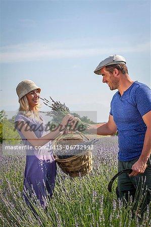 Harvesting Lavender, Croatia, Dalmatia, Europe