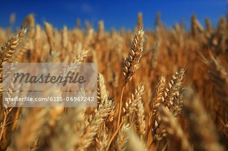 Wheat On Field, Close-up, Croatia, Slavonia, Europe