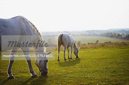 Two Horses Grazing On Pasture, Croatia, Europe