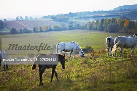 Herd Of Horses On Pasture, Croatia, Europe