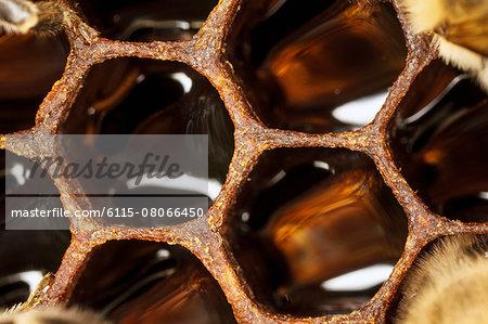 Honeycomb,(Apis mellifera), Croatia, Europe