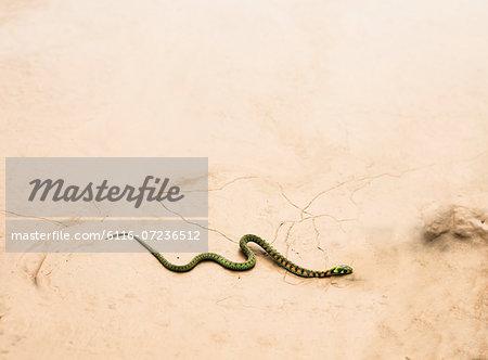Snake slithering across dry desert ground