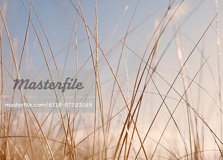 Sea grasses on Long Beach Peninsula, on the coast of Washington state.