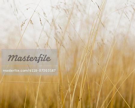 Close up of sea grasses on Long Beach Peninsula, in Washington state.