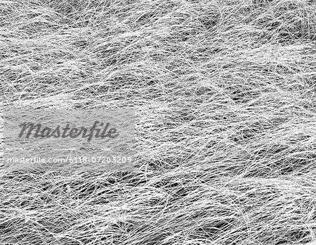 Dense sea grasses on the shore at Long Beach Peninsula, near Oysterville, Washington.