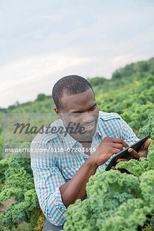 An organic vegetable farm. A man working among the crisp curly kale crop, using a digital tablet.